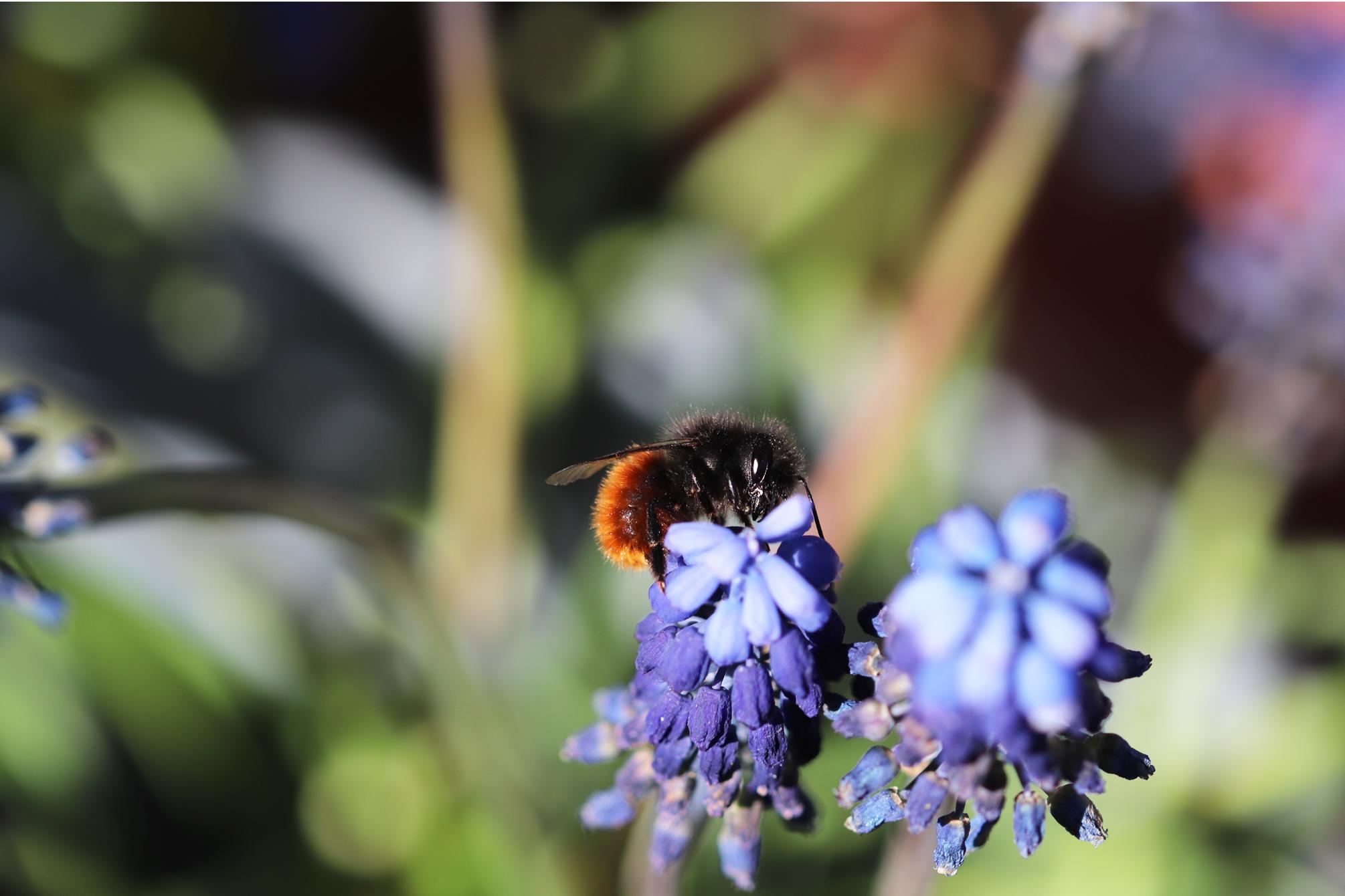 Weibchen der Gehörnten Mauerbiene auf einer Traubenhyazinthe auf dem Wilden Meter