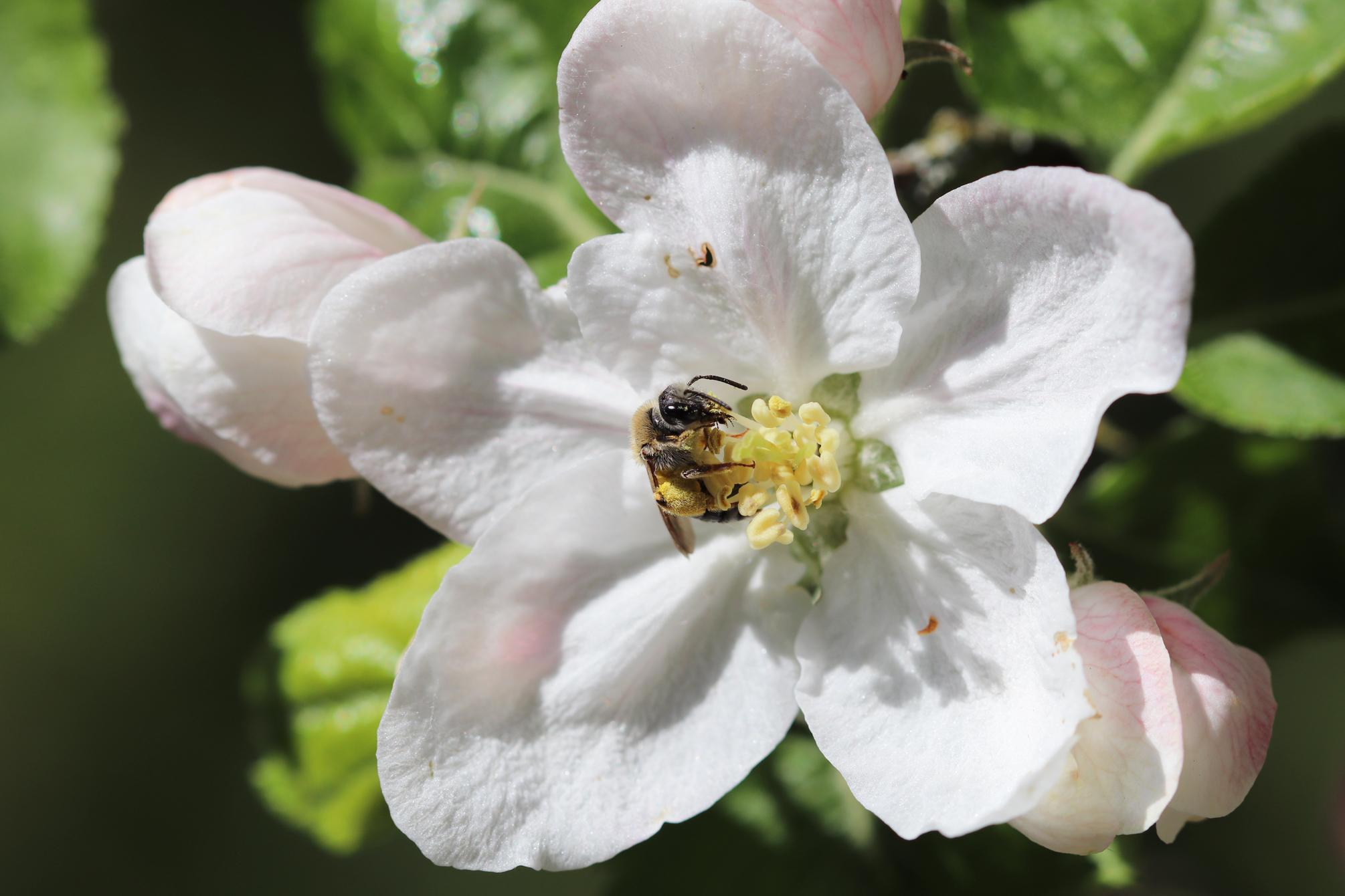 Weltbienentag: Wildbiene in einer Apfelblüte